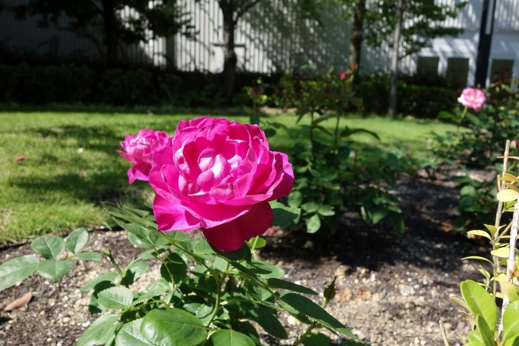 鮮やかな色彩のバラ