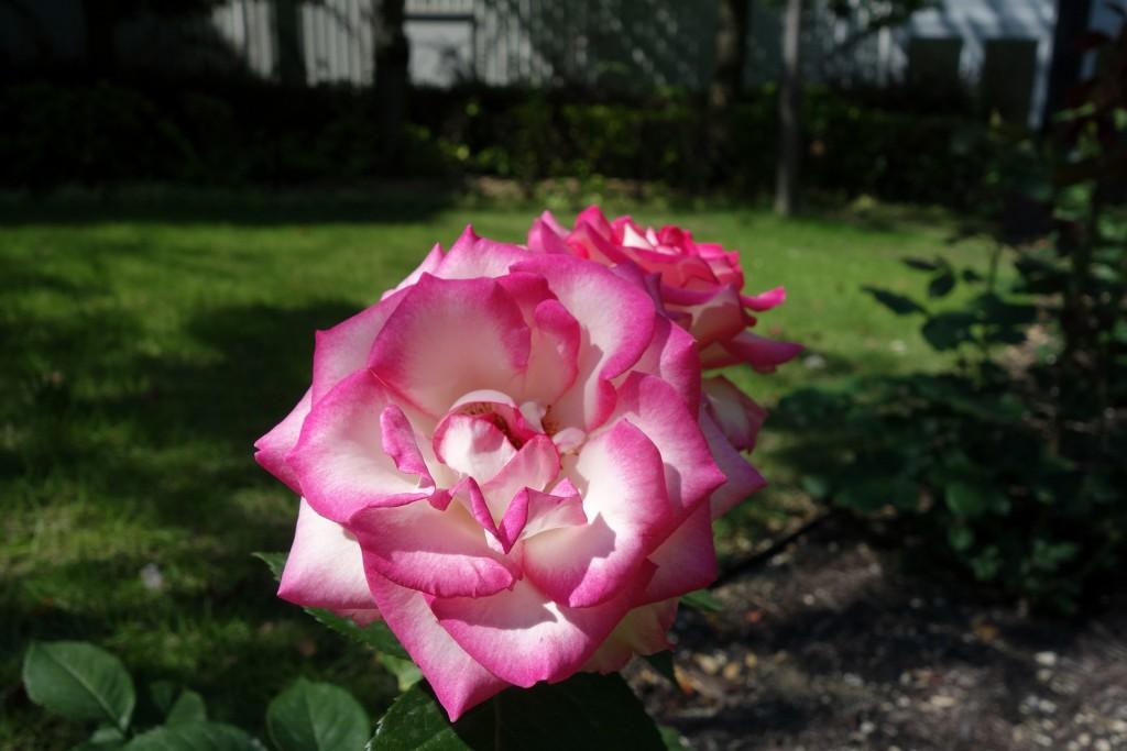白と紫のグラデーションが綺麗なバラ