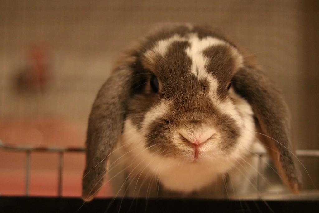 興味津々そうに見ているたれ耳ウサギ
