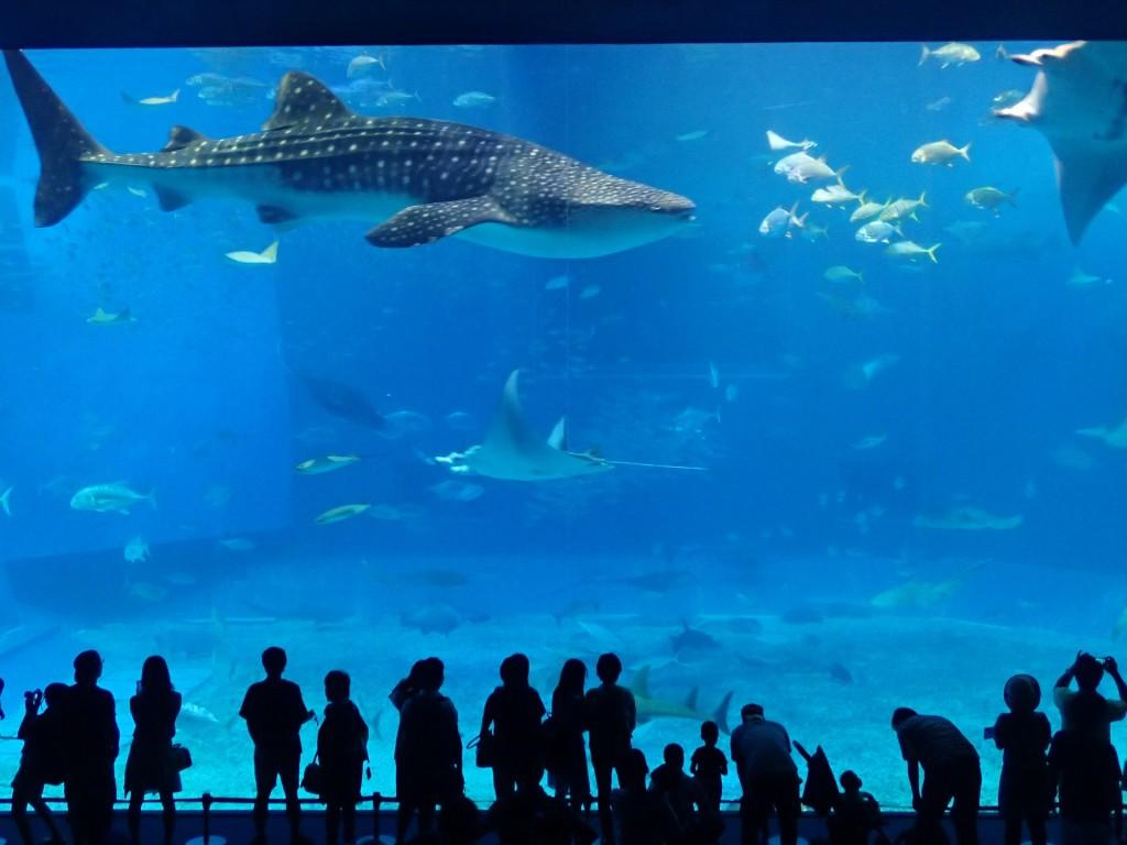 美ら海水族館の巨大なジンベイザメ