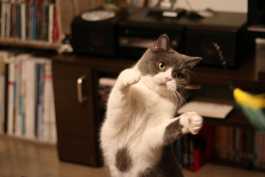 猫じゃらしに必死にとびかかる猫