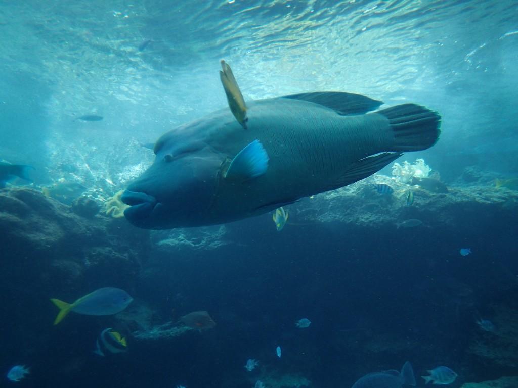 水中で優雅に泳ぐアオブダイ