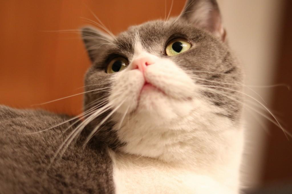 亭主に甘えるひげ猫