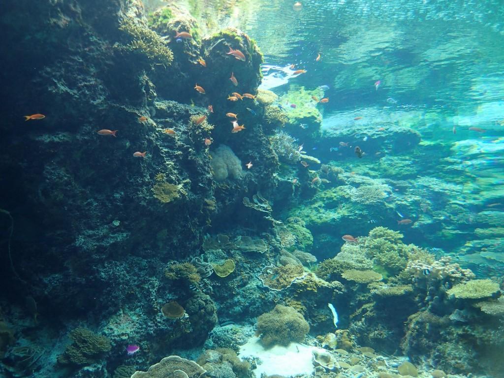 浅瀬のサンゴに群がる魚達