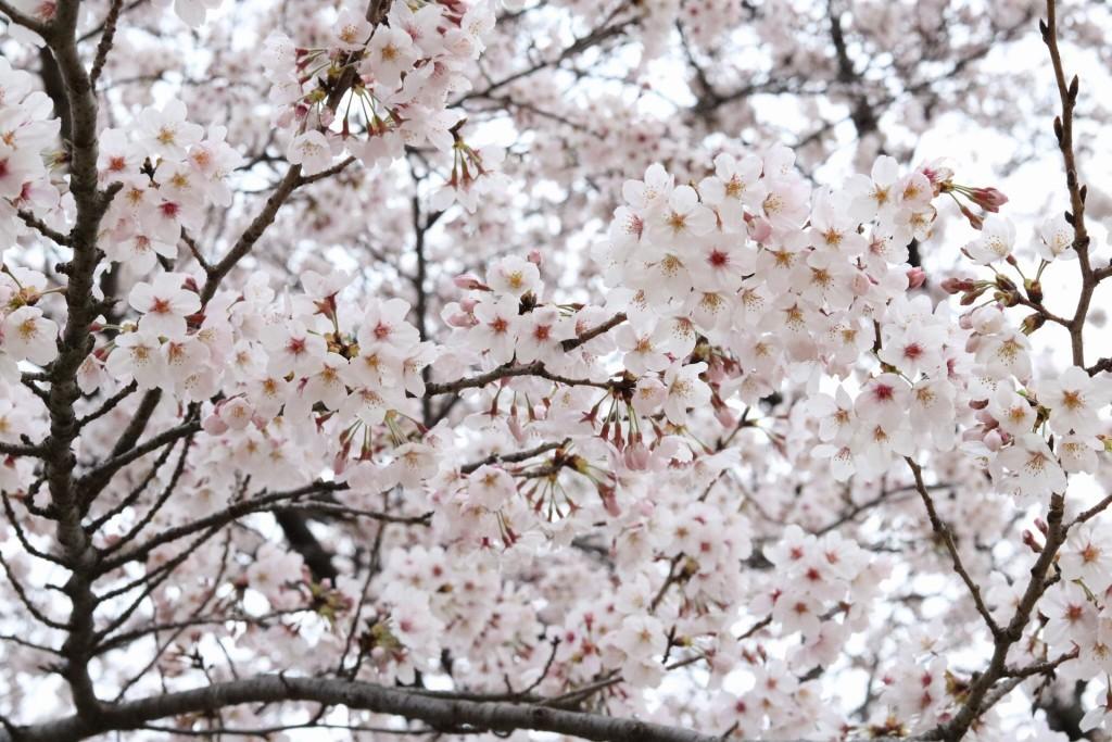 サクラの木の下で花見