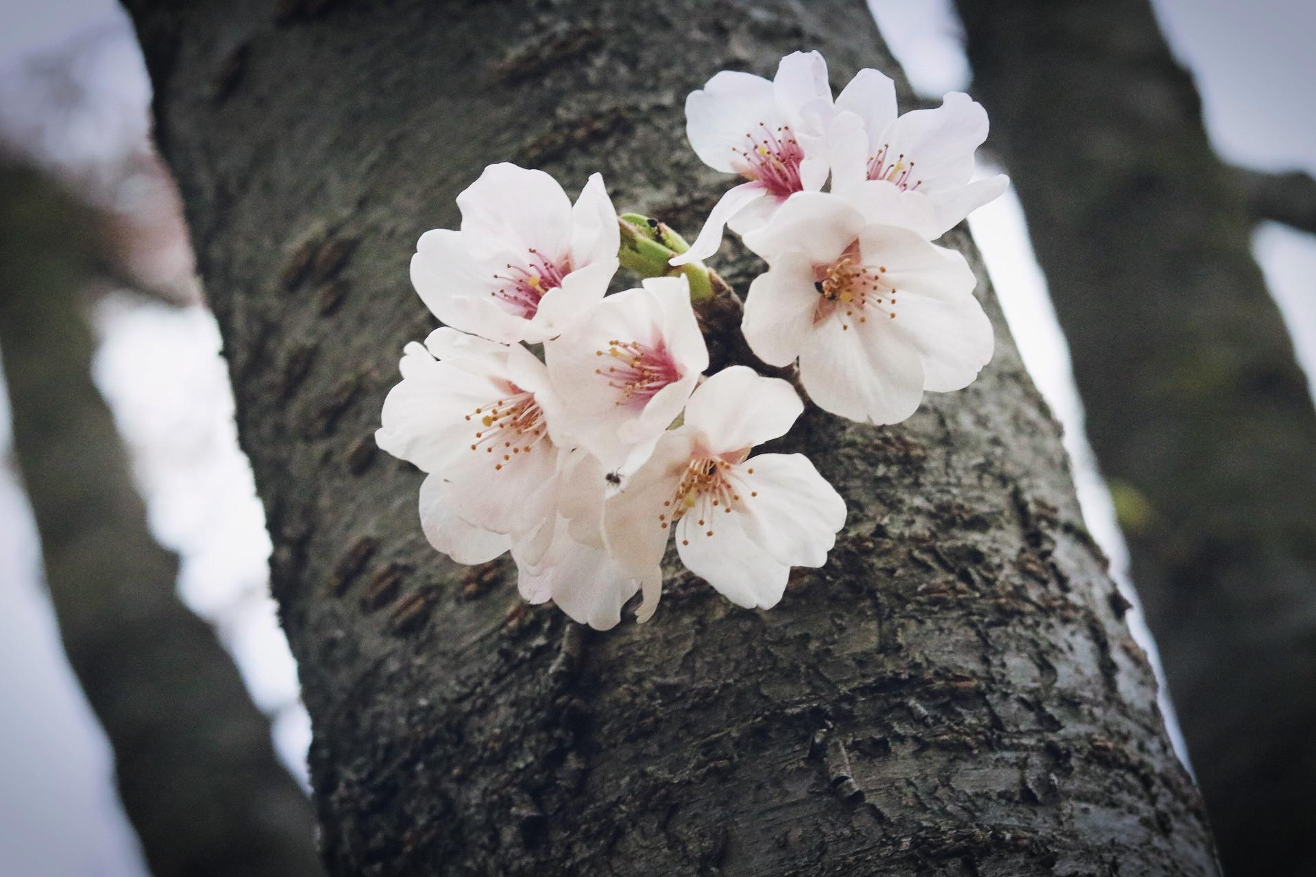 来年また咲くころにゆきます