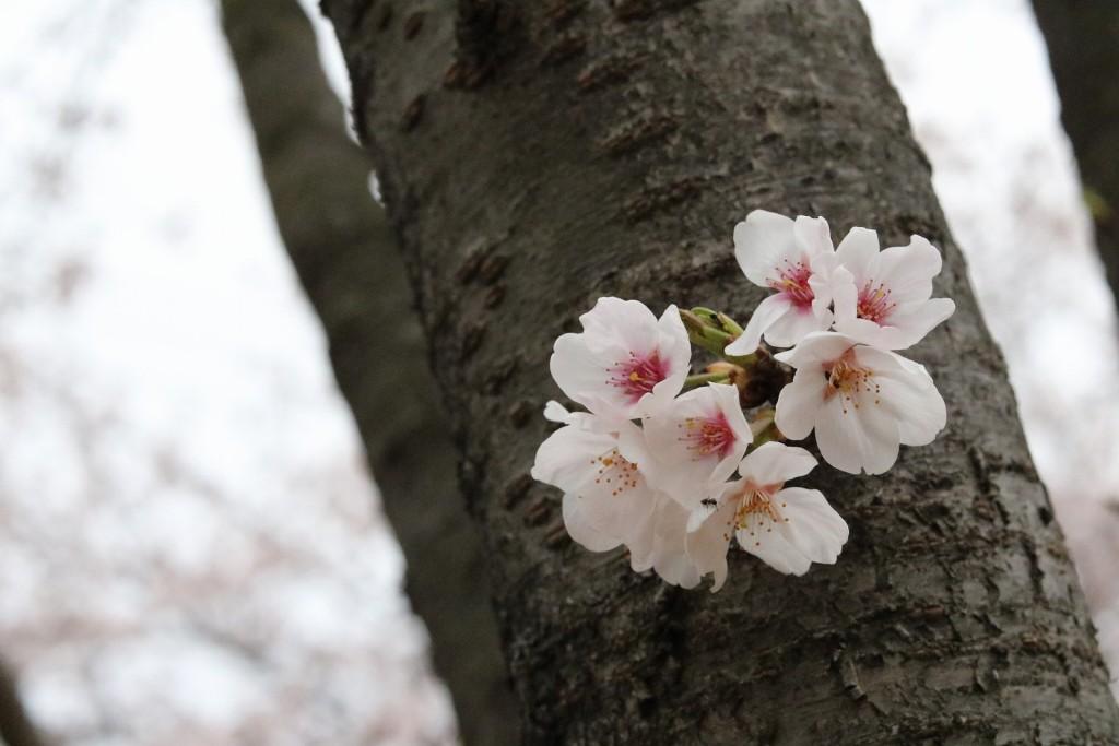 木の枝からはぐれた桜の花びら