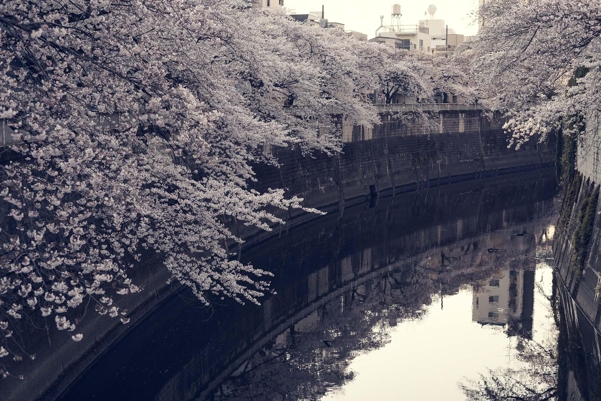 川沿いを覆うように咲く満開の桜