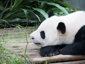 微動だにせずに昼寝してるパンダ