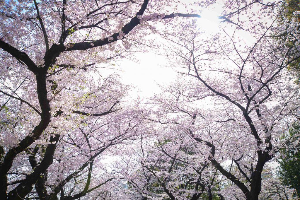 満開の桜並木が空を包み込む