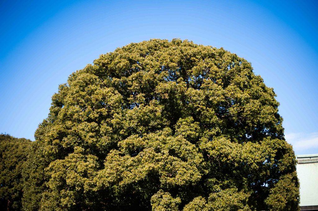 癒やしを与えてくれる大木