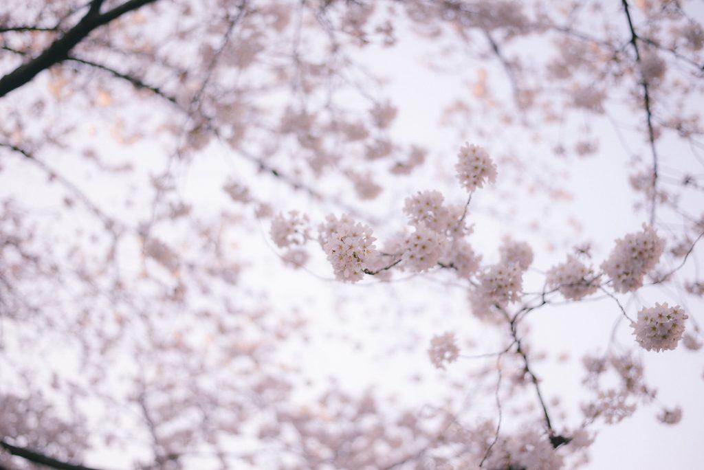儚い桜の花びら
