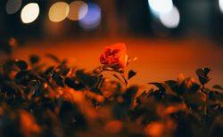 夜のアスファルトに咲くバラ