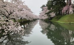 弘前公園の満開の桜